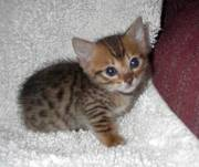 Energetic Bengal Kittens For Sale