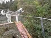 Siberian husky stud dog